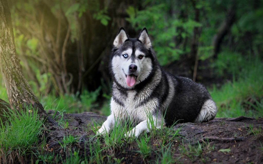 siberian-husky-wallpaper-20787-21324-hd-wallpapers