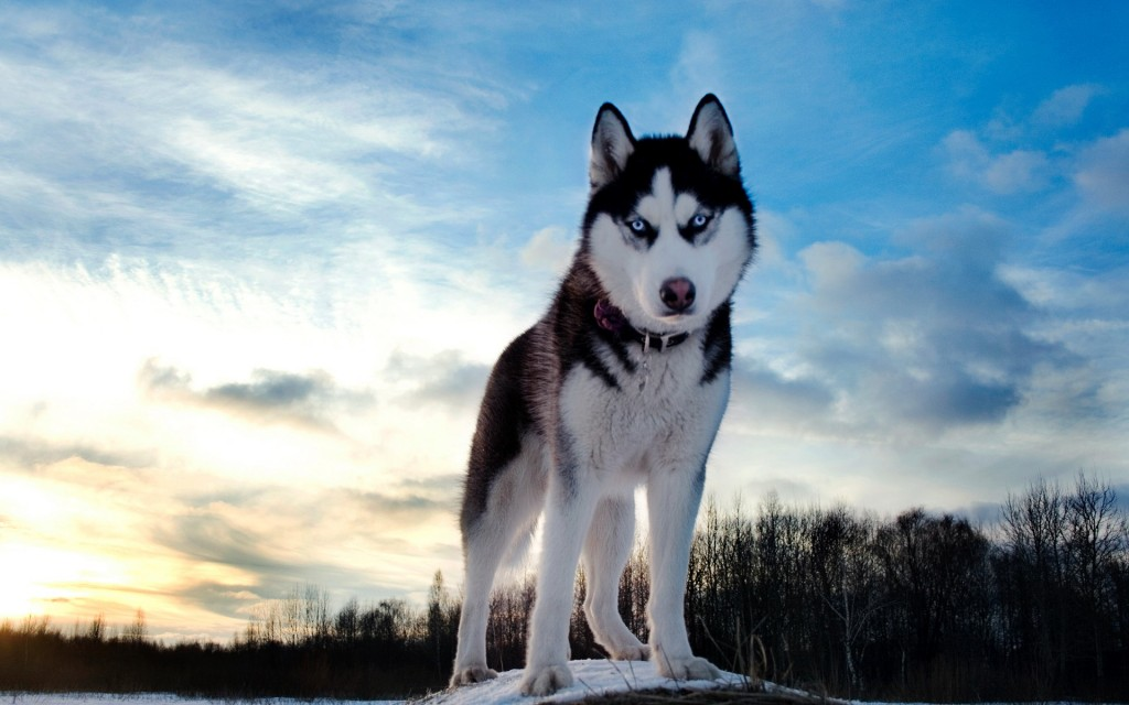siberian-husky-wallpaper-20791-21328-hd-wallpapers