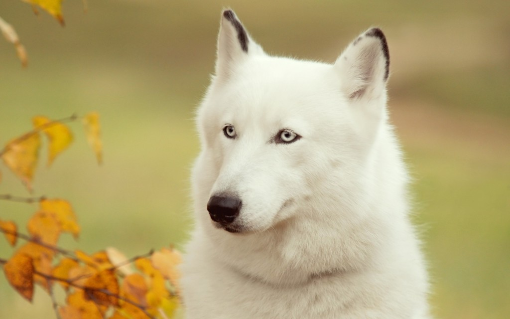 white-husky-wallpapers-39654-40571-hd-wallpapers