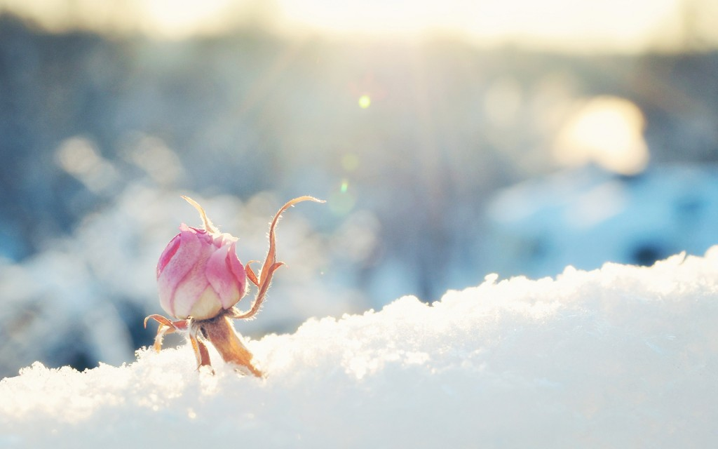 winter-flowers-25804-26488-hd-wallpapers