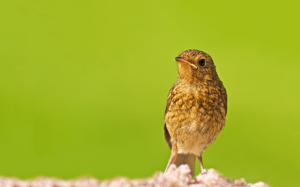 baby-robin-bird-wallpaper-43162-44193-hd-wallpapers