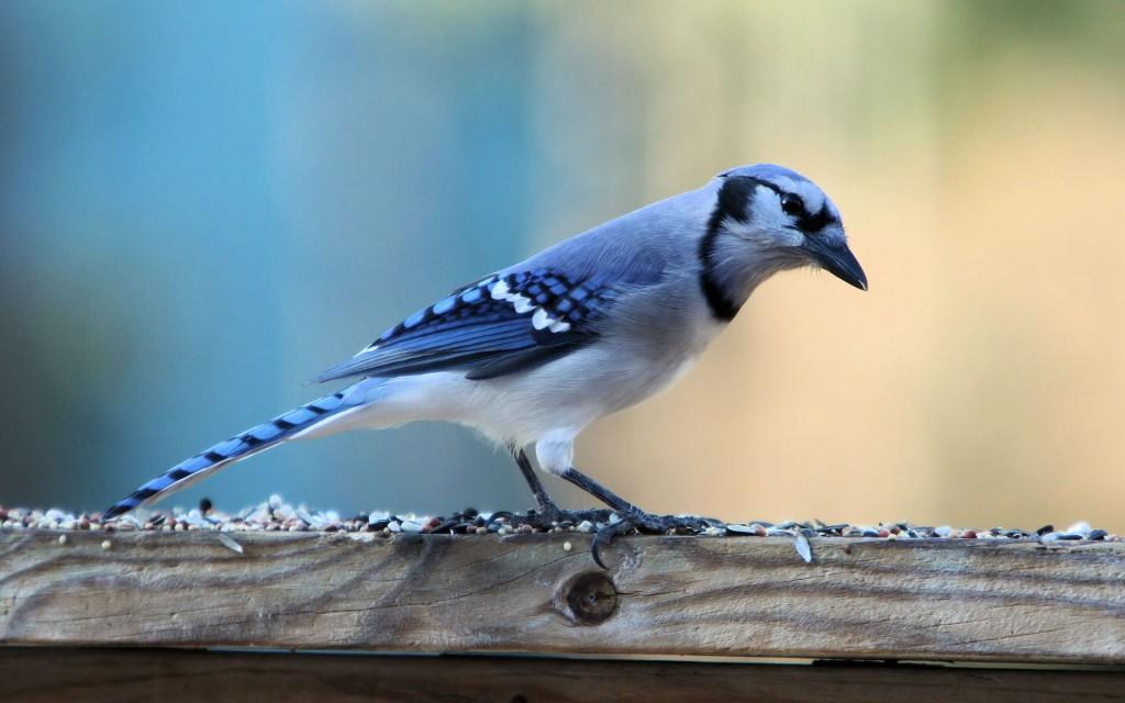 beautiful-blue-bird-wallpaper-39973-40903-hd-wallpapers