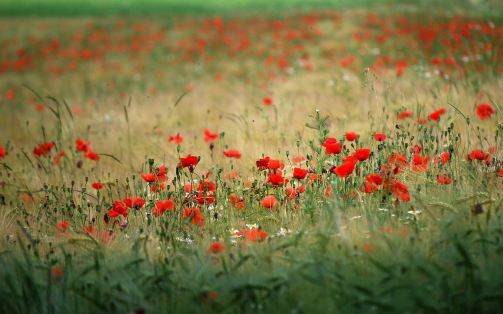 poppy-field-wallpaper-32146-32884-hd-wallpapers