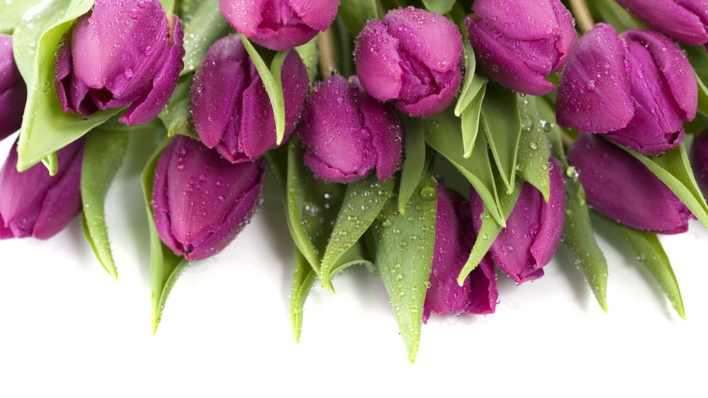 purple-tulips-12713-13115-hd-wallpapers