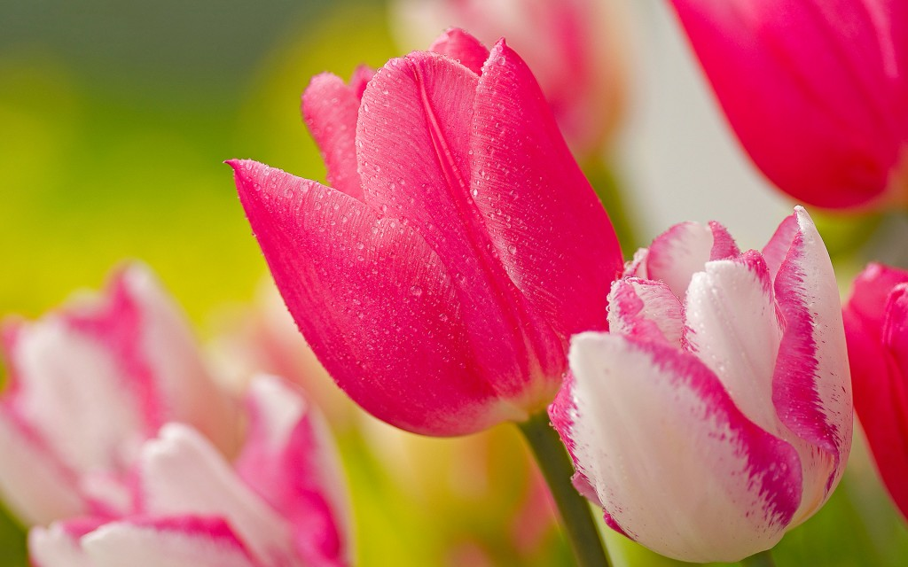 stunning-pink-tulips-22696-23312-hd-wallpapers