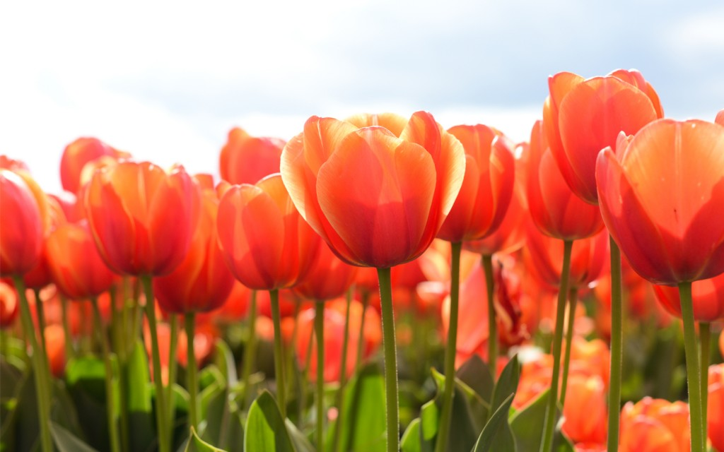 tulips-12581-12971-hd-wallpapers
