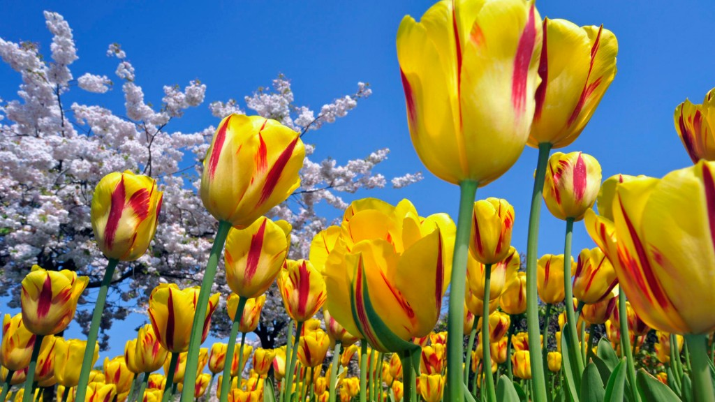 tulips-12613-13003-hd-wallpapers