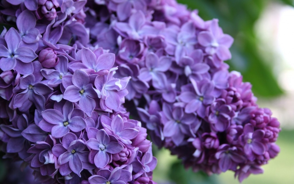 lilac-20182-20691-hd-wallpapers