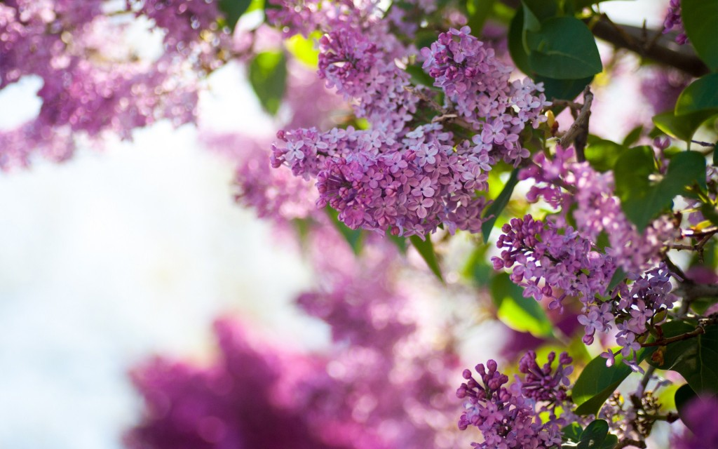 lilac-20204-20713-hd-wallpapers