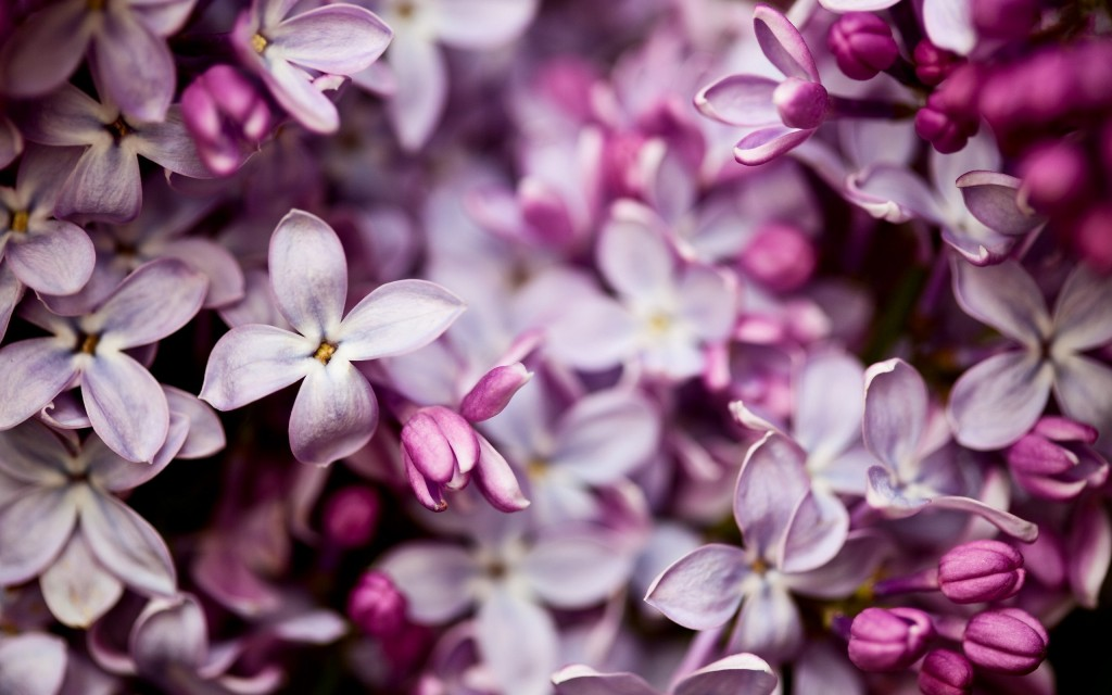 pretty-lilac-flowers-20202-20711-hd-wallpapers