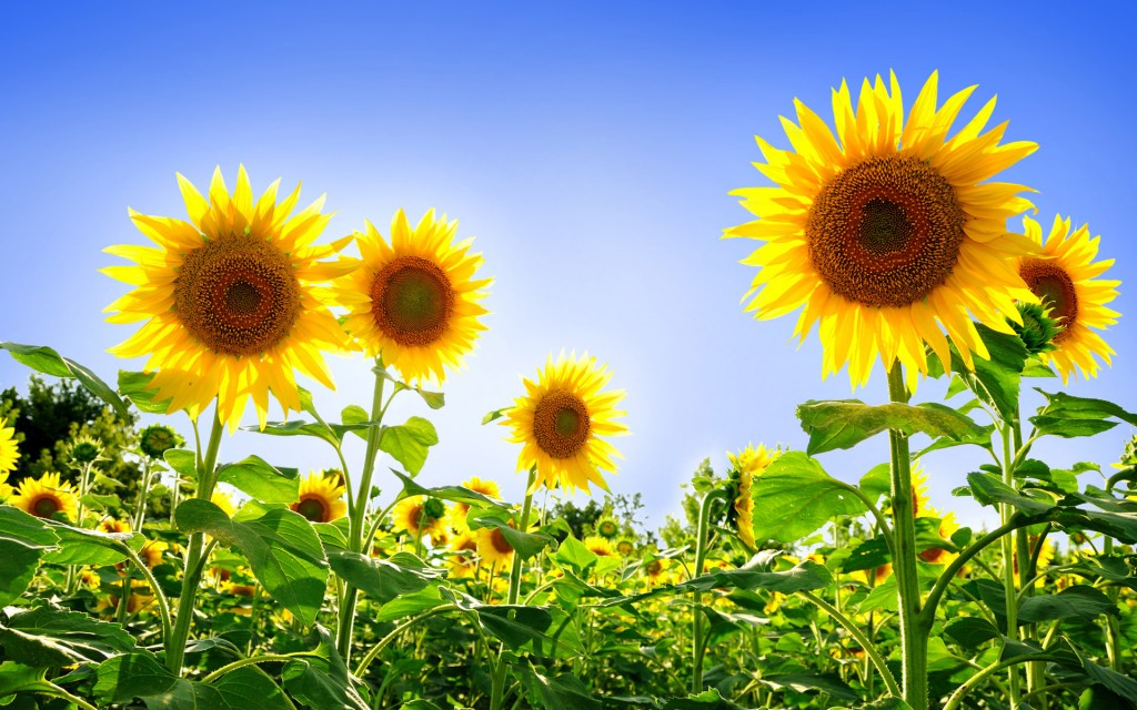sunflower-pictures-21592-22131-hd-wallpapers