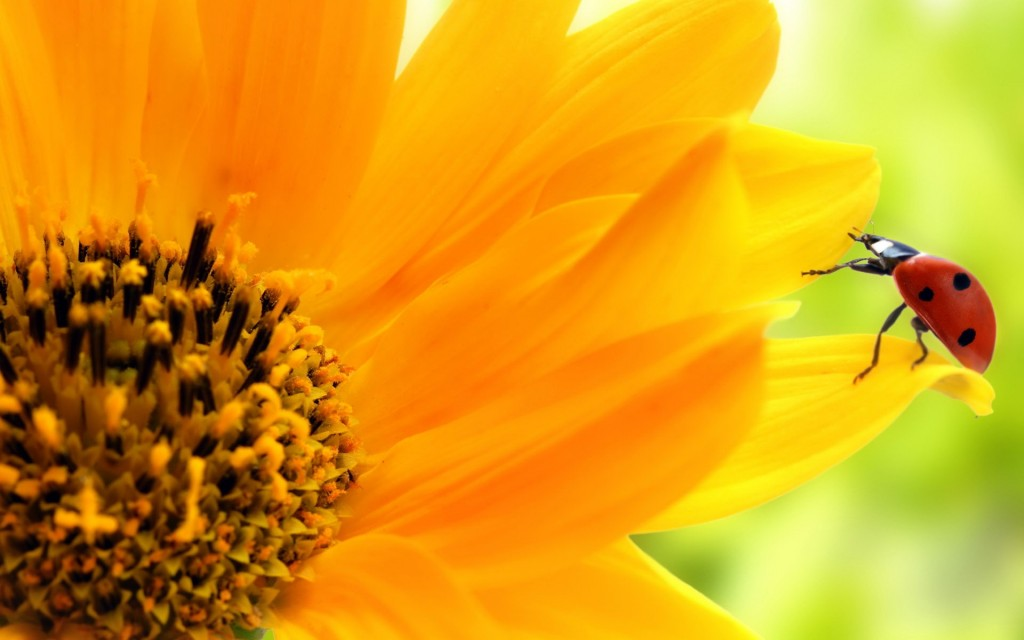sunflower-wallpaper-16052-16540-hd-wallpapers