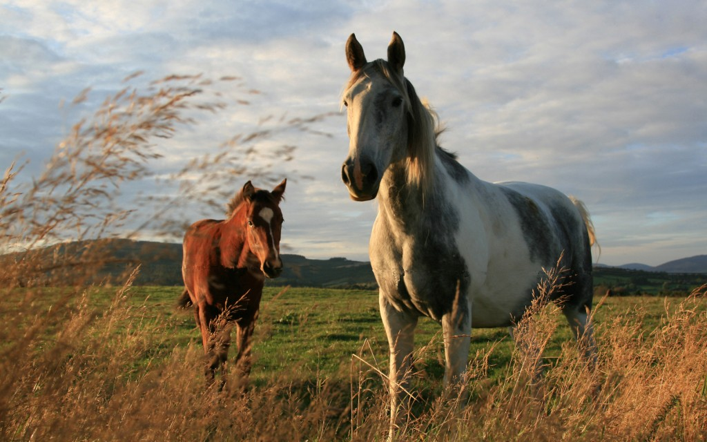 beautiful horses field wallpapers