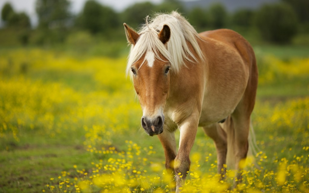 gorgeous horse wallpapers
