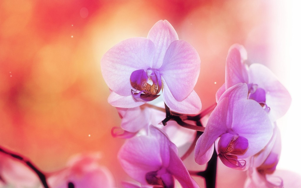 amazing-orchid-wallpaper-24547-25217-hd-wallpapers