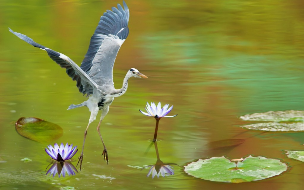 awesome-heron-wallpaper-41841-42827-hd-wallpapers