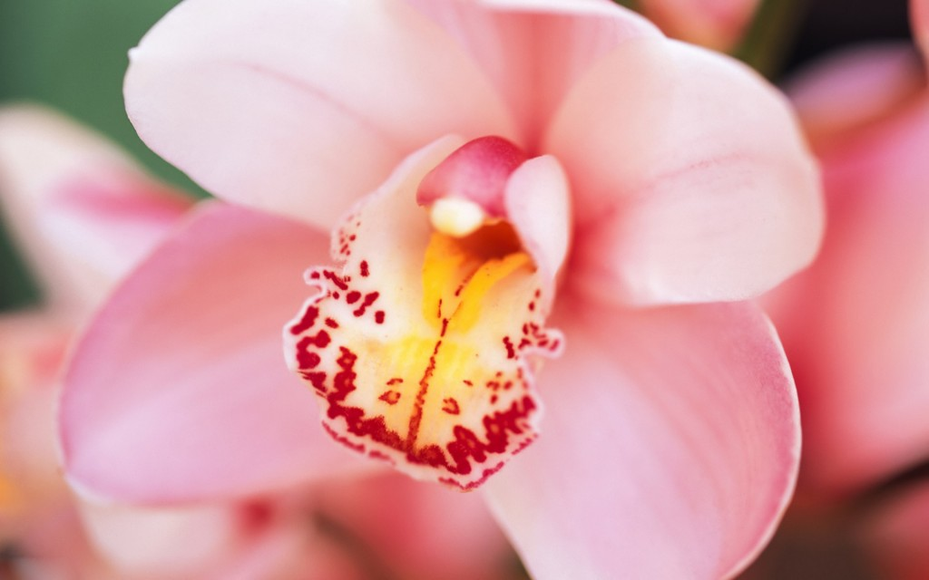 awesome-orchid-wallpaper-24561-25231-hd-wallpapers
