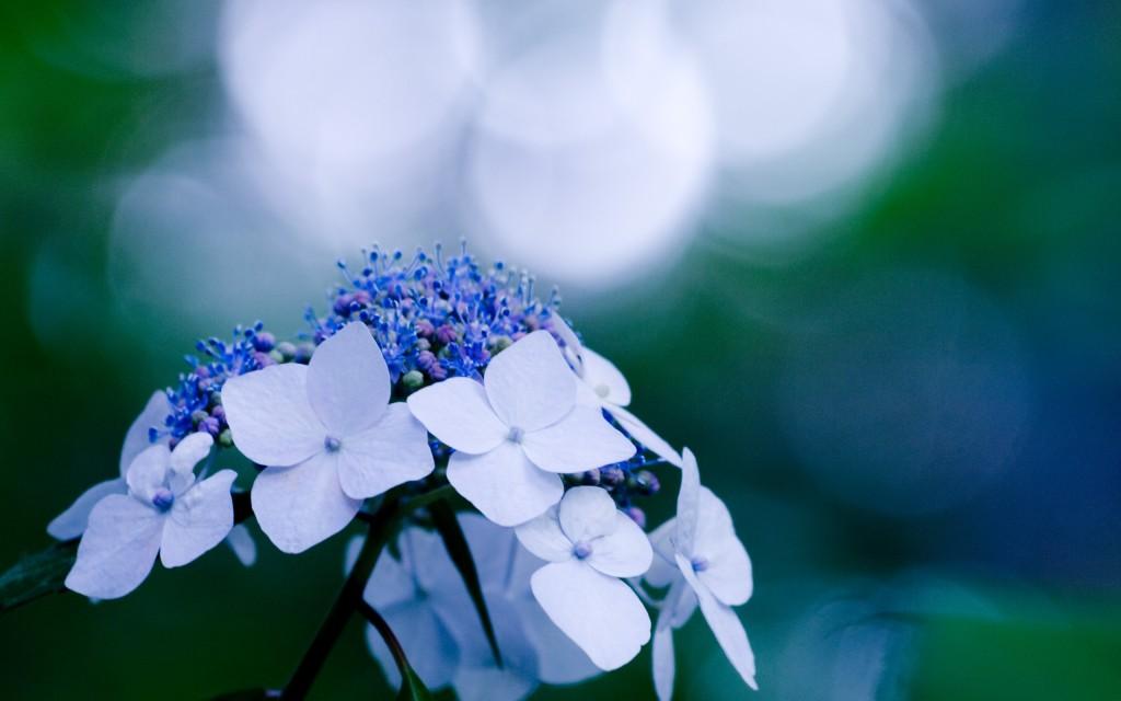 hydrangea flowers wallpapers