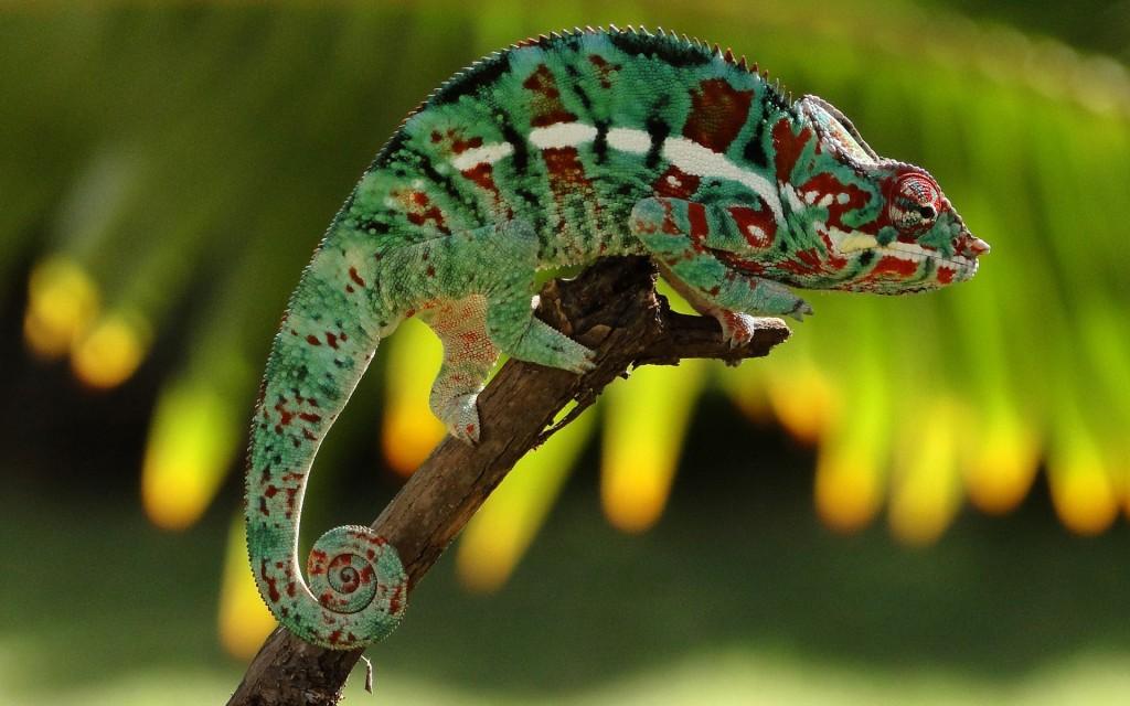 chameleon-23636-24290-hd-wallpapers