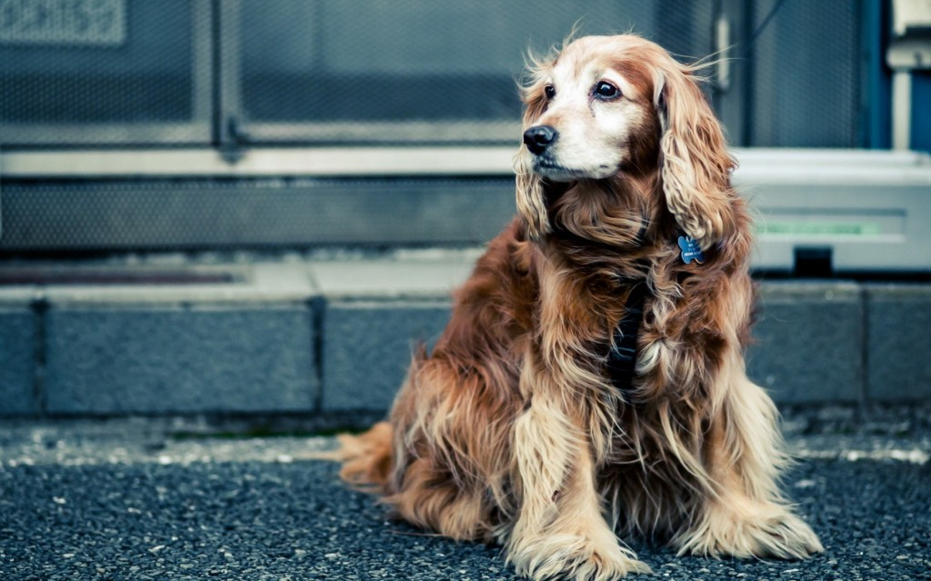 cocker-spaniel-pictures-39307-40212-hd-wallpapers