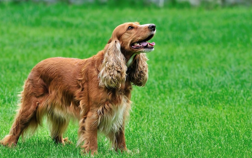 cocker spaniel dog wallpapers