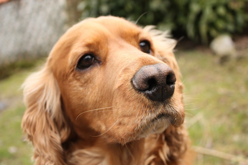 cocker-spaniel-wallpaper-pictures-49397-51066-hd-wallpapers