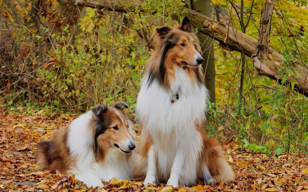 collie-wallpaper-43483-44535-hd-wallpapers