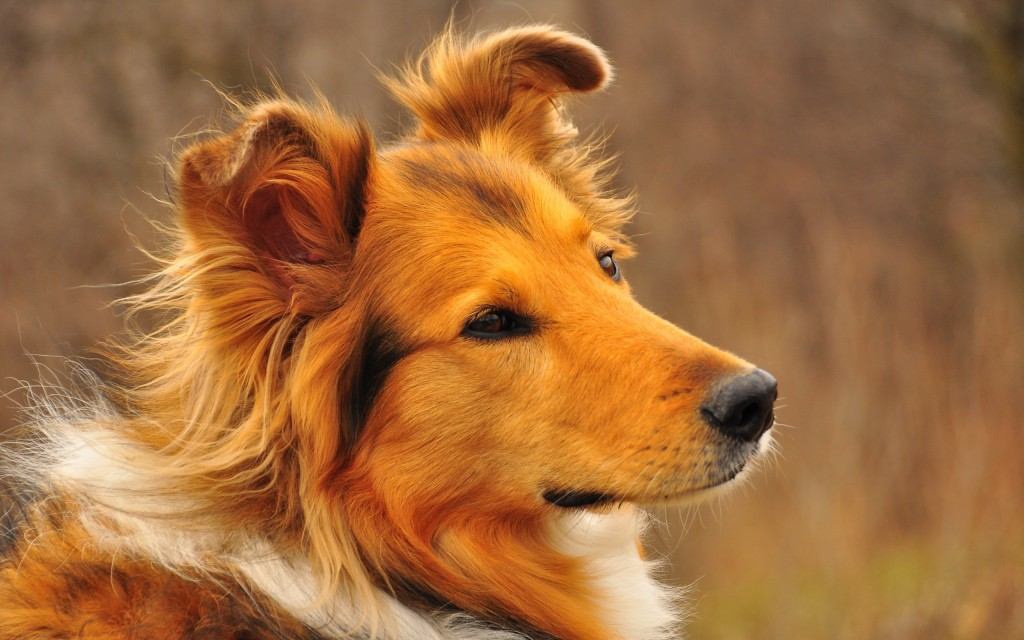 collie-wallpaper-43487-44542-hd-wallpapers