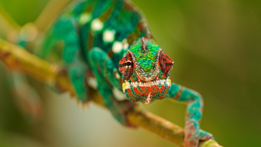 colorful-chameleon-34524-35301-hd-wallpapers