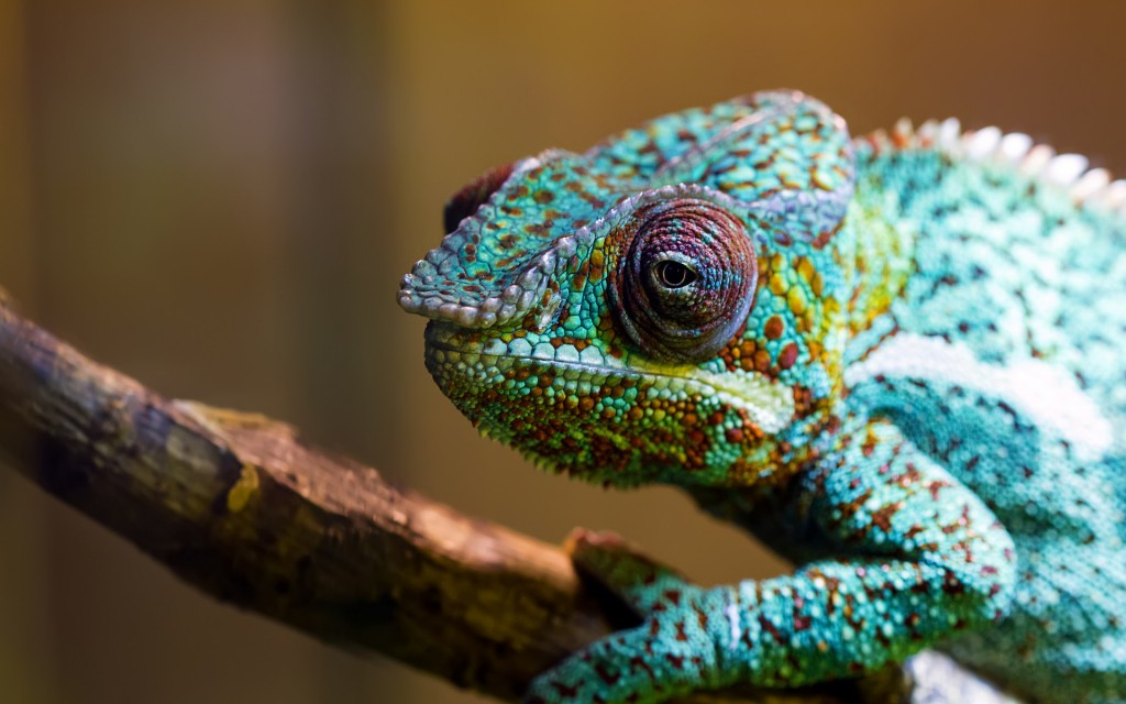 colorful-chameleon-34526-35303-hd-wallpapers