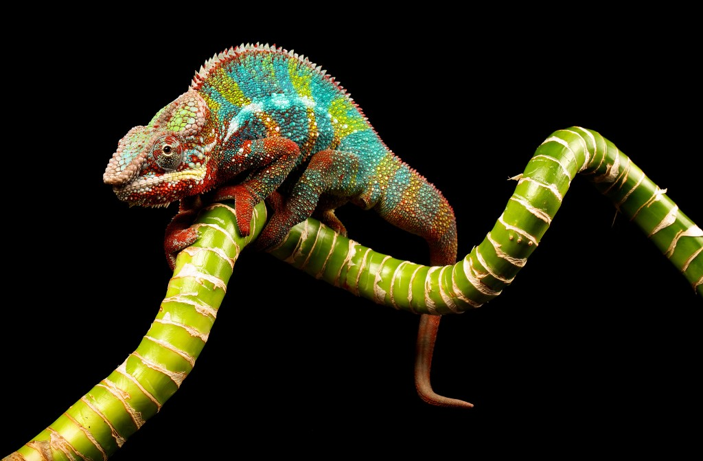 colorful-chameleon-wallpaper-34525-35302-hd-wallpapers