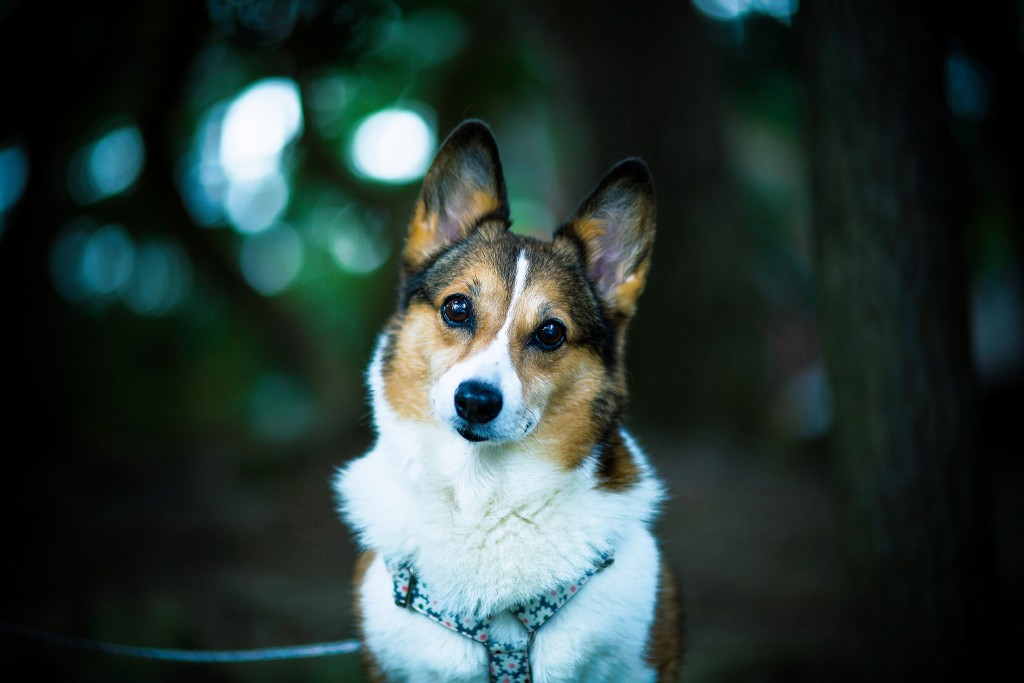 corgi-dog-desktop-wallpaper-49392-51061-hd-wallpapers