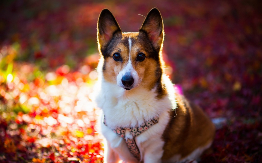 corgi-dog-wallpaper-49391-51060-hd-wallpapers