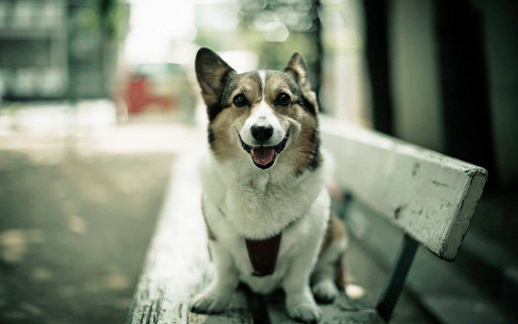 corgi-dog-wallpaper-49394-51063-hd-wallpapers