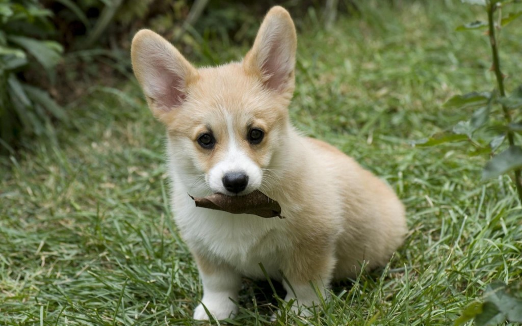 corgi-wallpaper-38259-39134-hd-wallpapers