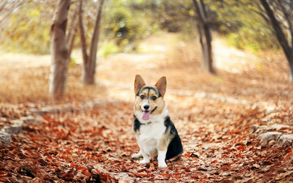corgi-wallpaper-hd-38262-39137-hd-wallpapers