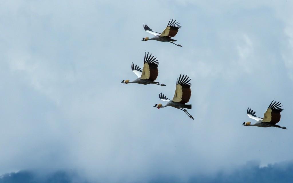 crane-bird-wallpaper-38440-39318-hd-wallpapers