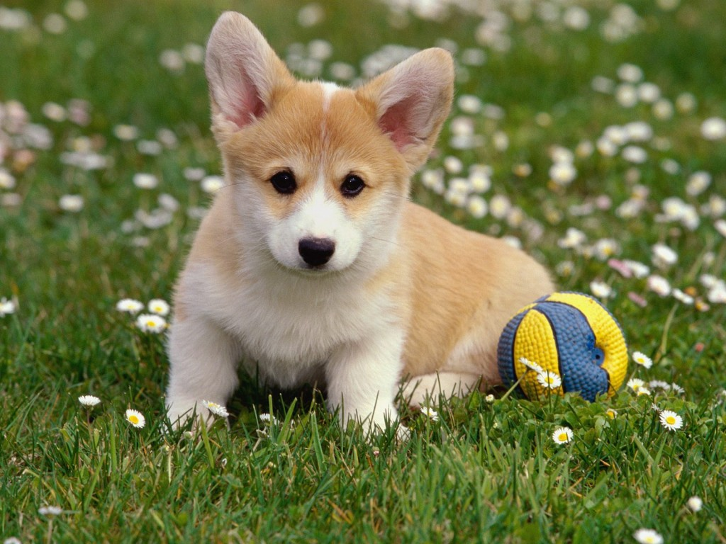 cute-corgi-38268-39143-hd-wallpapers
