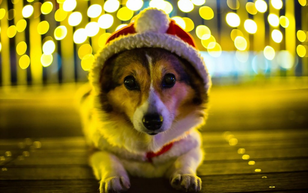 cute-corgi-wallpaper-38261-39136-hd-wallpapers
