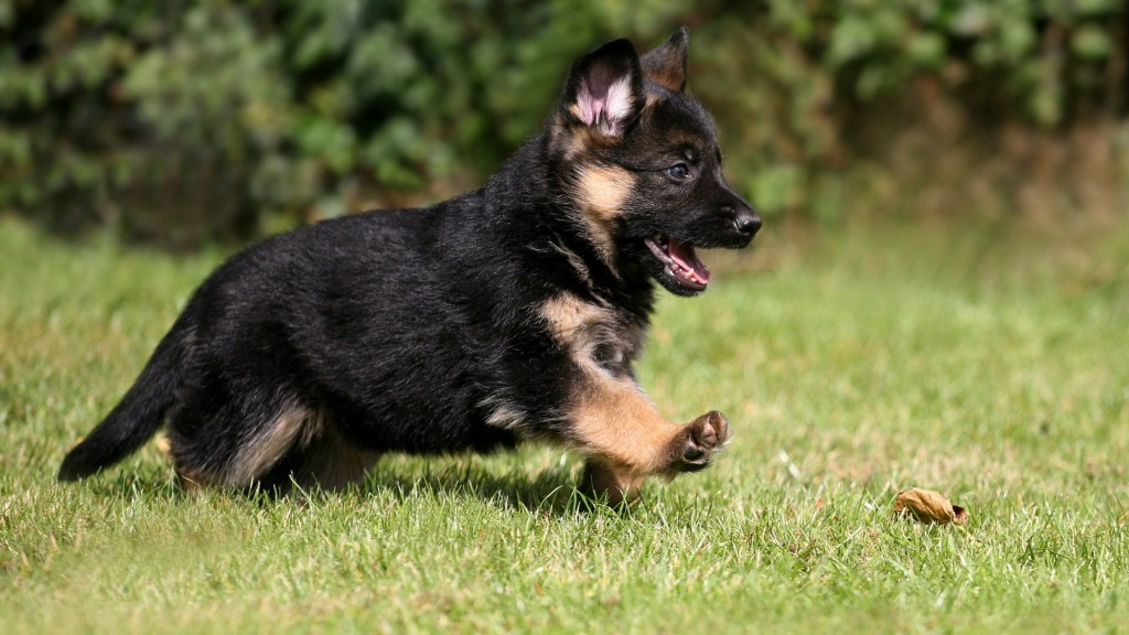 cute-german-shepherd-puppy-wallpaper-45733-46986-hd-wallpapers