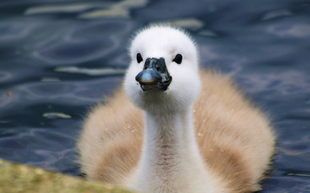 cute-swan-wallpaper-28071-28793-hd-wallpapers