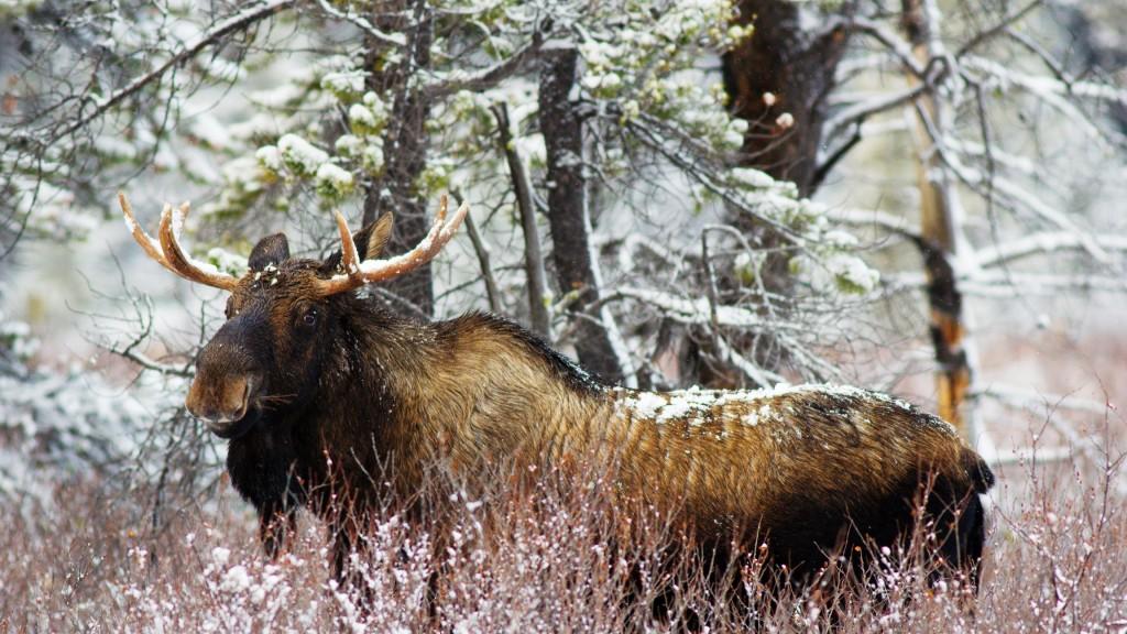 elk-widescreen-wallpaper-49283-50949-hd-wallpapers