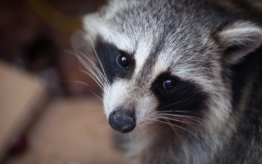 fantastic-raccoon-wallpaper-43653-44720-hd-wallpapers