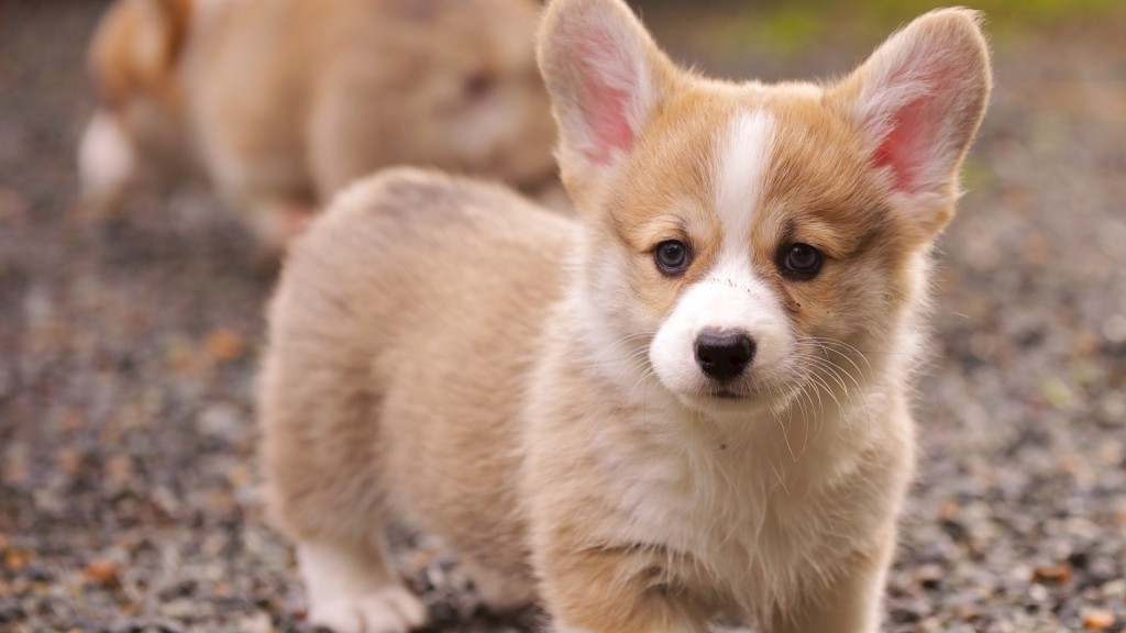 free-corgi-wallpaper-38263-39138-hd-wallpapers