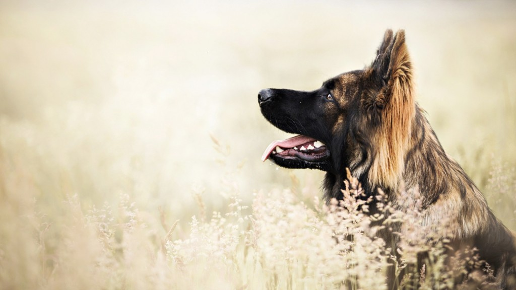 german-shepherd-dog-desktop-wallpaper-49105-50762-hd-wallpapers
