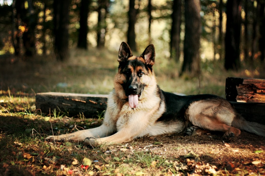 german-shepherd-dog-desktop-wallpaper-49107-50764-hd-wallpapers