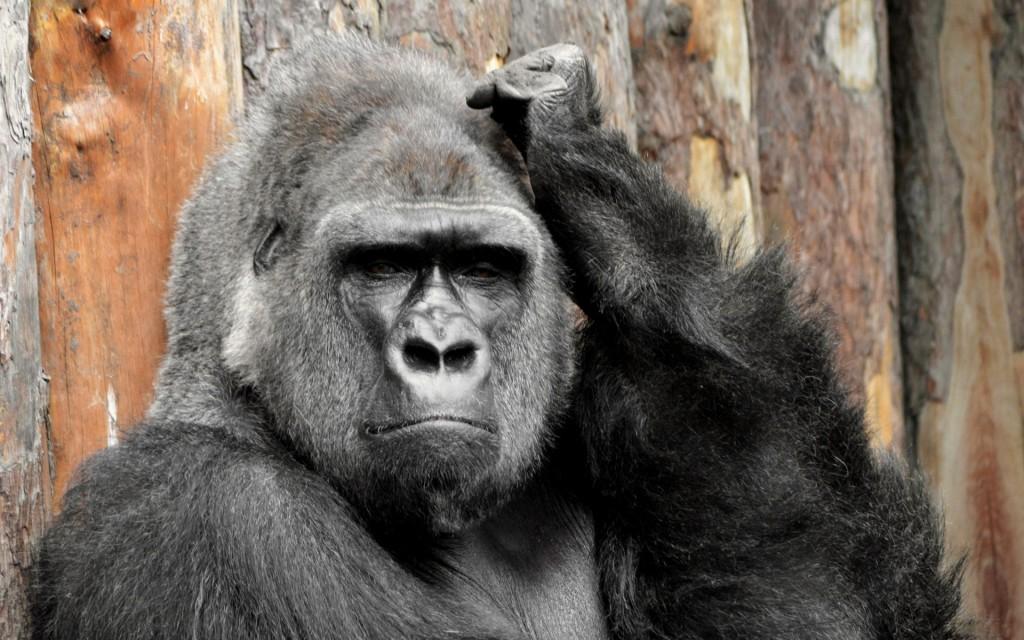 gorilla-desktop-wallpaper-49120-50778-hd-wallpapers