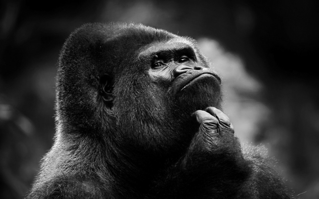 gorilla-wallpaper-46746-48197-hd-wallpapers