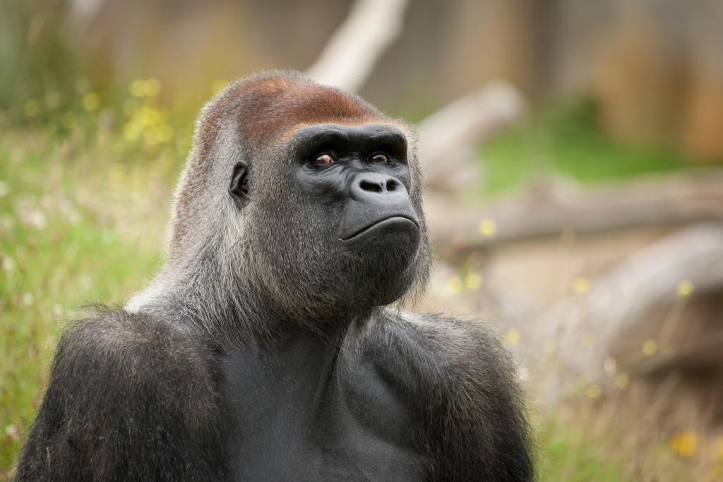 gorilla-wallpaper-49123-50781-hd-wallpapers