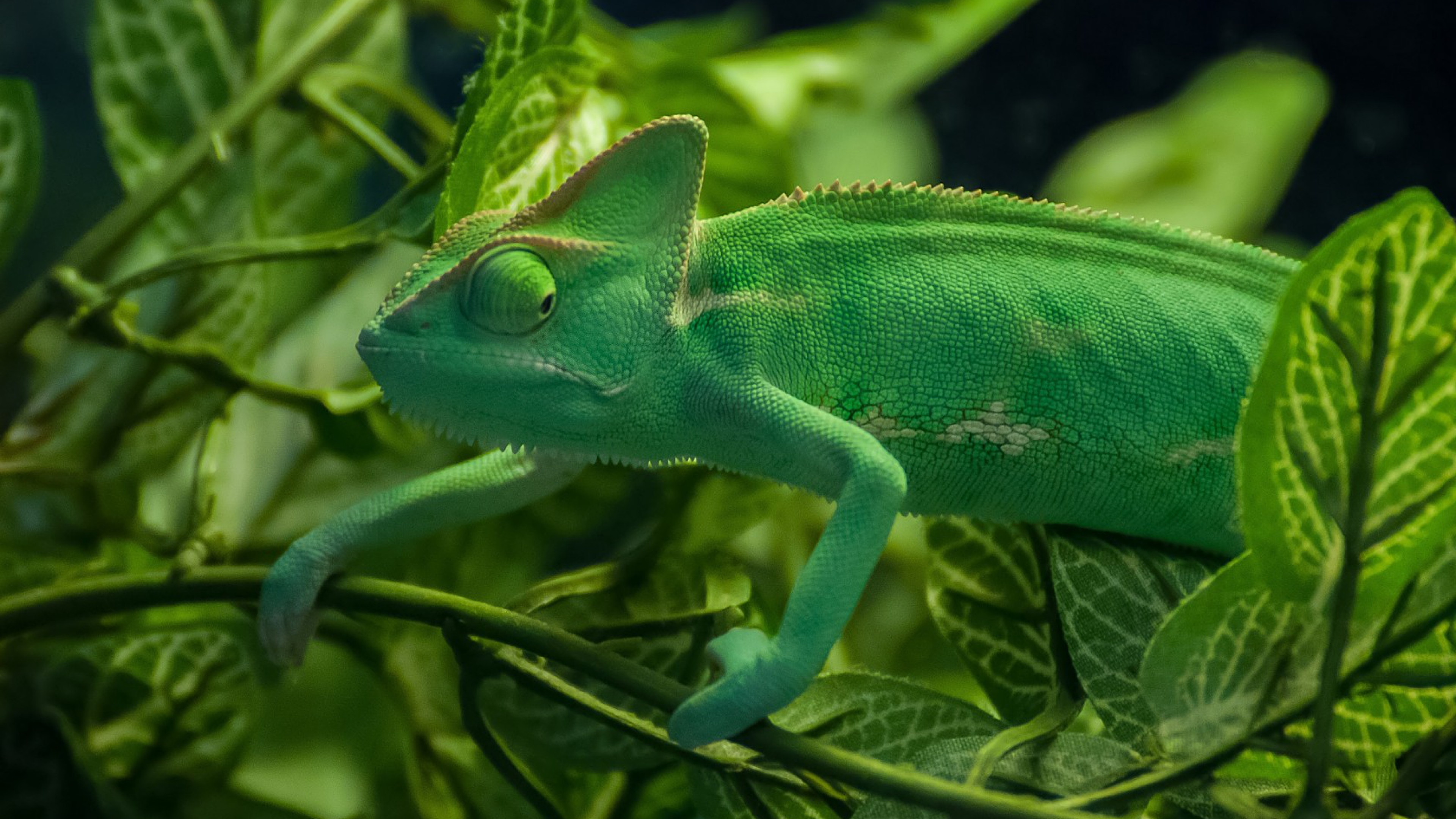 green chameleon widescreen wallpaper -#main